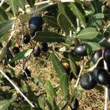 Bruschetta: Pianta di ulivo.