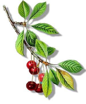 Maraschino liqueur: Prunus cerasus (img-09)