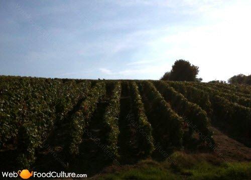 Champagne wine: Champagne landscape (9)