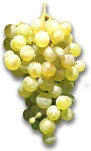 Prosecco wine: Prosecco grape.