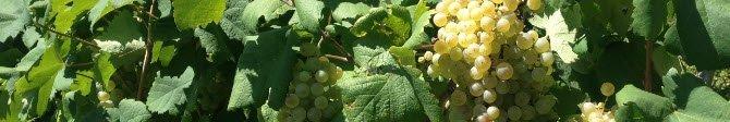 Prosecco wine: Asolo DOCG.