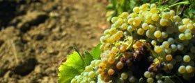 Marsala wine: Marsala grapes (crt-01)