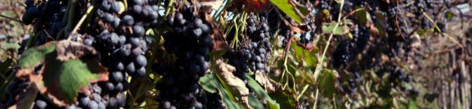 The grapes for Balsamic Vinegar (crt-01))